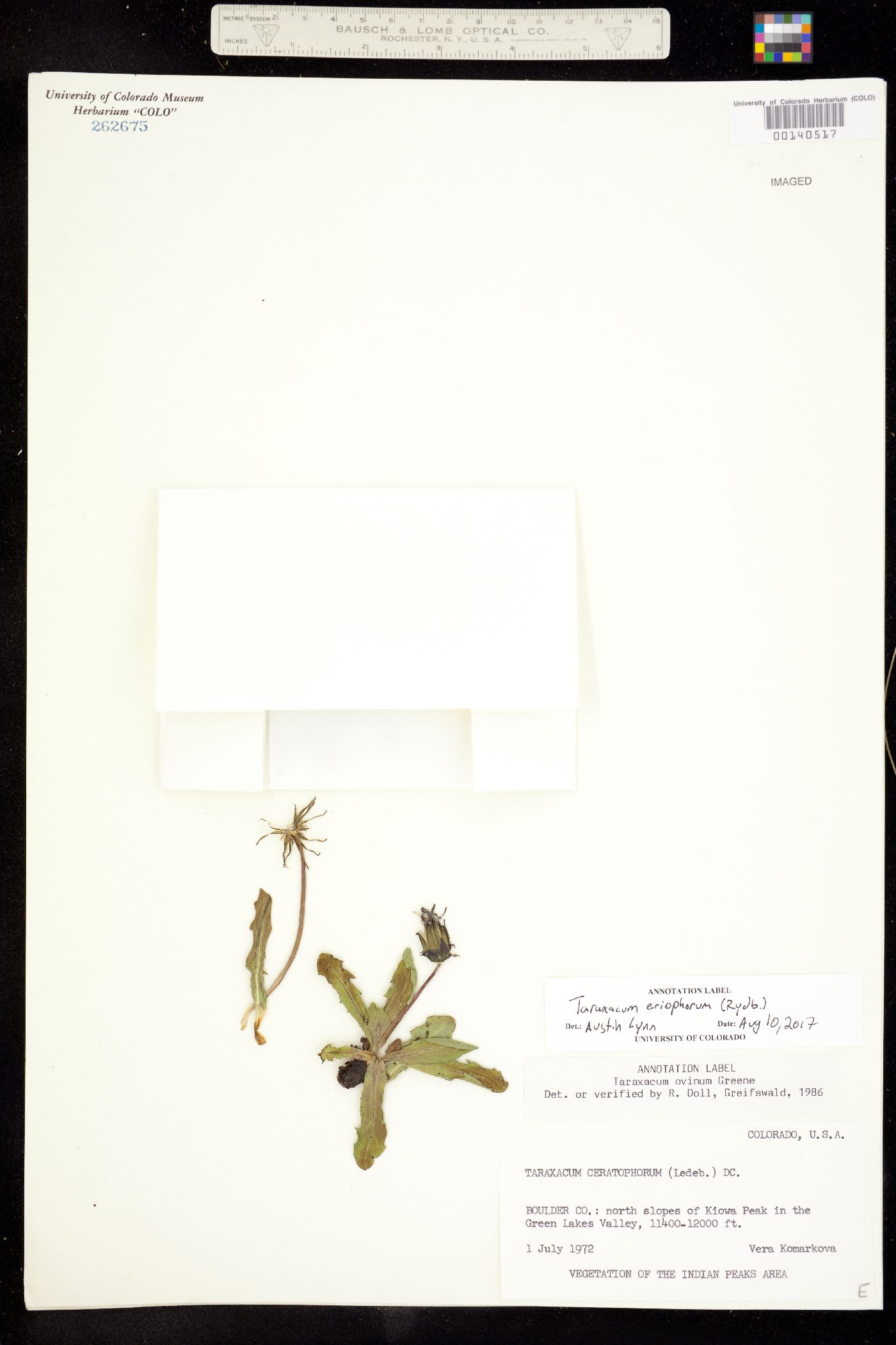 Taraxacum image
