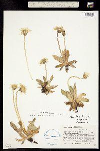 Taraxacum ovinum image