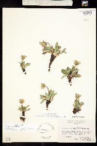 Taraxacum eriophorum image