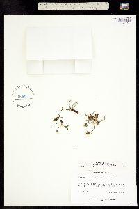 Taraxacum scopulorum image