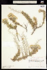 Image of Tetradymia nuttallii