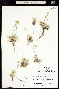 Tetraneuris acaulis image