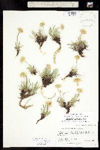 Tetraneuris acaulis var. caespitosa image
