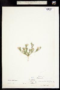 Image of Townsendia annua