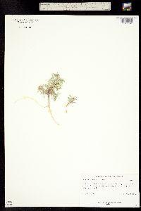 Townsendia fendleri image