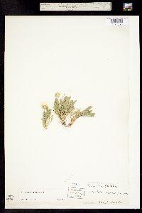 Townsendia glabella image