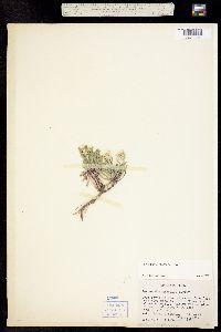 Image of Townsendia glabella