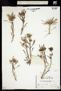 Townsendia grandiflora image