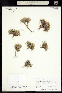 Image of Townsendia rothrockii