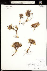 Townsendia rothrockii image