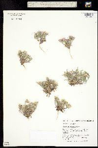 Image of Townsendia strigosa