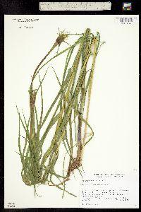 Tragopogon dubius ssp. major image
