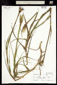 Tragopogon dubius X porrifolius image