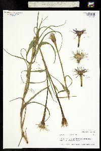 Image of Tragopogon dubius x porrifolius
