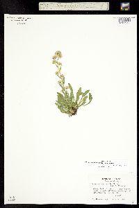 Erigeron lonchophyllus image