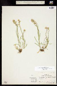 Image of Erigeron lonchophyllus