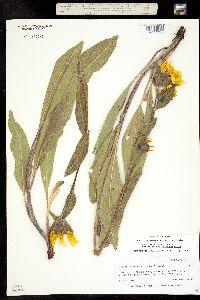 Wyethia magna image