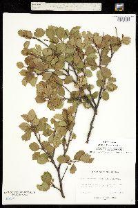 Image of Betula x eastwoodiae