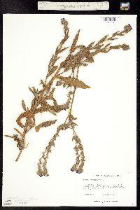 Image of Anchusa officinalis
