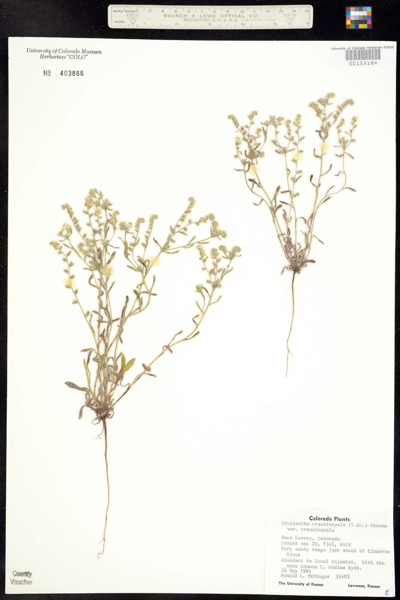Cryptantha crassisepala var. crassisepala image