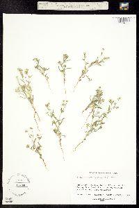 Cryptantha watsonii image