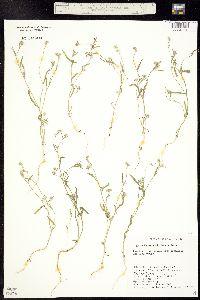 Image of Cryptantha watsonii