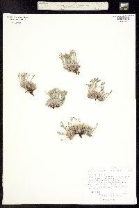 Eritrichum aretioides image
