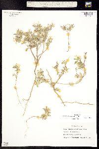 Euploca convolvulacea ssp. convolvulacea image