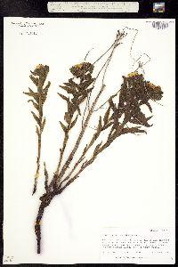 Lithospermum croceum image