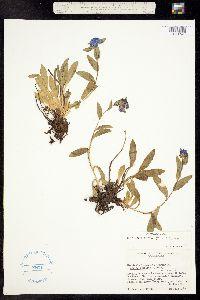 Mertensia alpina image