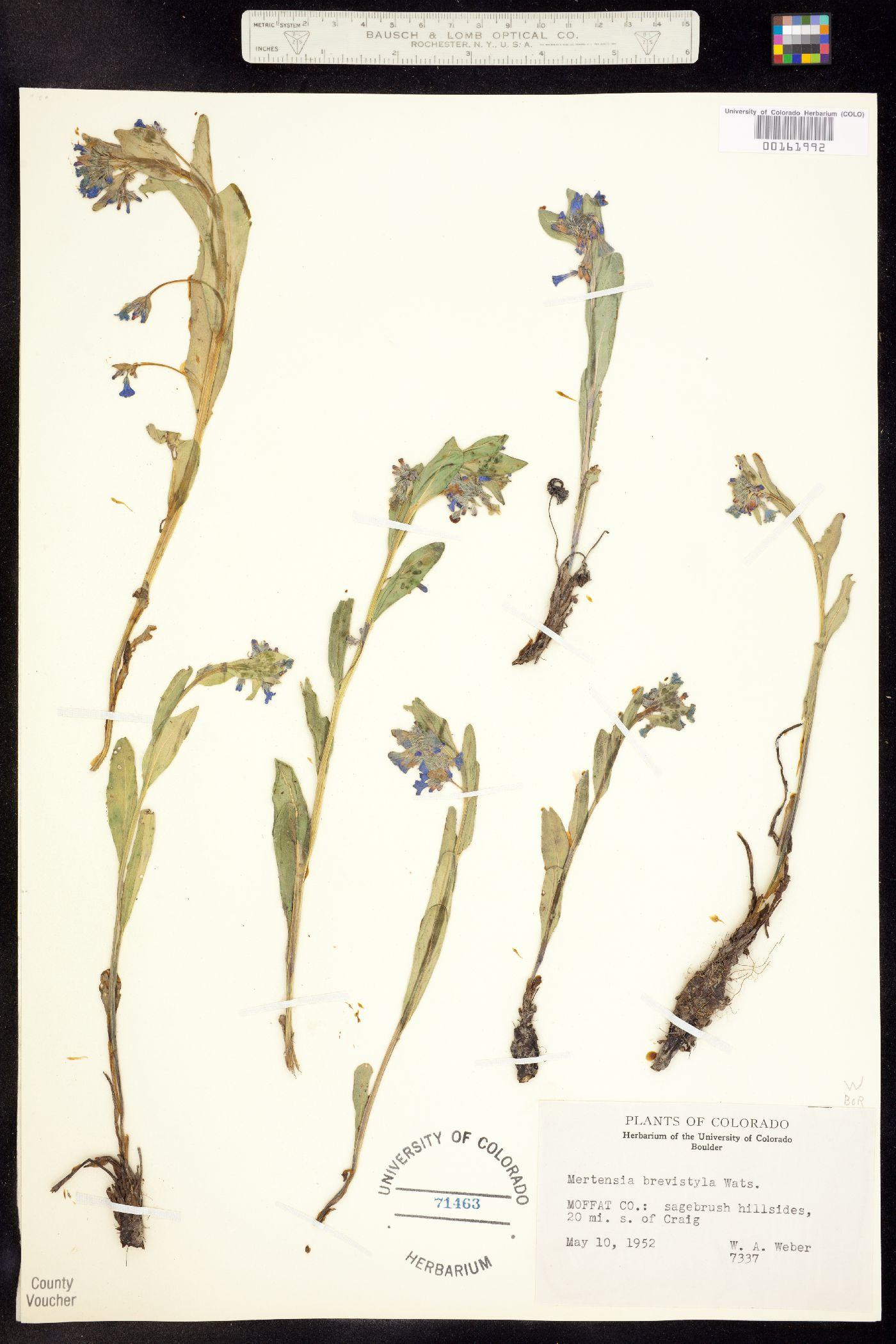 Mertensia image