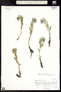 Mertensia brevistyla image