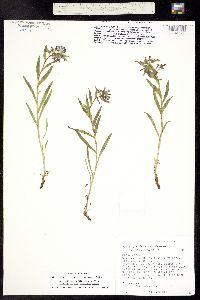 Mertensia lanceolata var. bakeri image