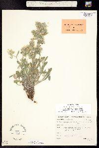 Cryptantha bakeri image