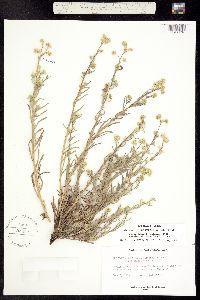 Oreocarya breviflora image