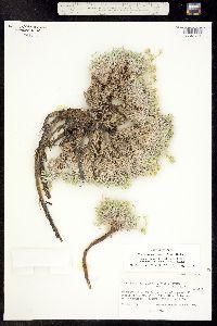 Image of Cryptantha caespitosa