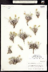 Cryptantha cana image
