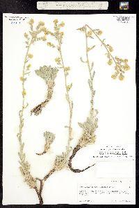 Oreocarya elata image