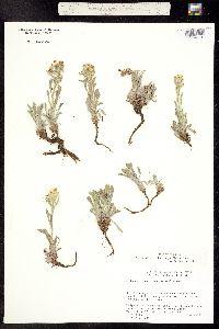 Oreocarya flavoculata image