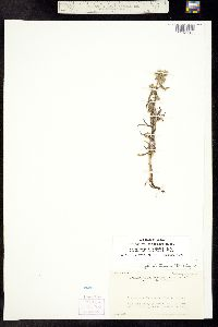 Cryptantha cinerea var. pustulosa image