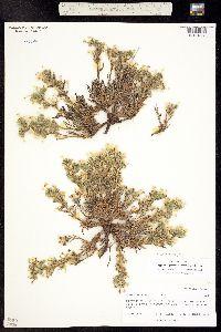 Oreocarya gypsophila image