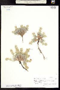 Cryptantha osterhoutii image