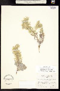 Oreocarya longiflora image
