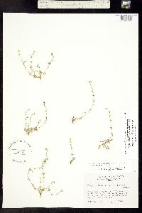 Plagiobothrys scouleri ssp. penicillata image