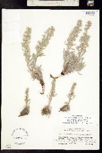 Cryptantha weberi image