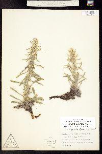 Cryptantha virgata image