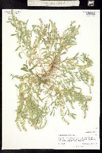 Alyssum desertorum image