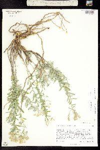 Alyssum murale image