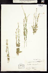 Arabis pycnocarpa image
