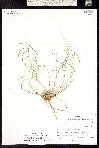 Boechera fendleri image